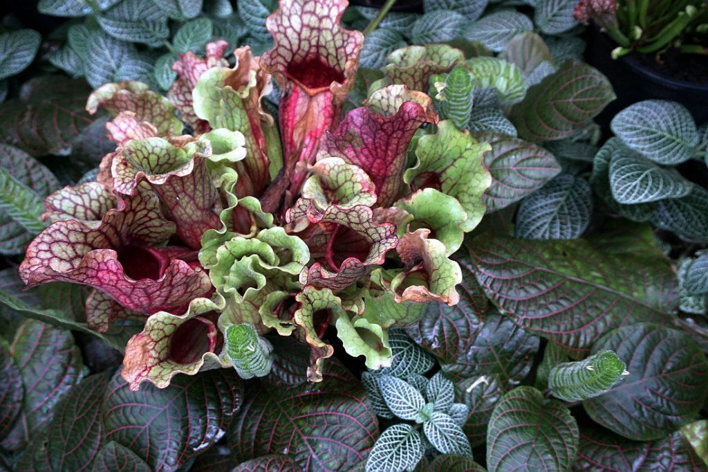 palmiarnia poznań rośliny mięsożerna roslina owadożerna roślina