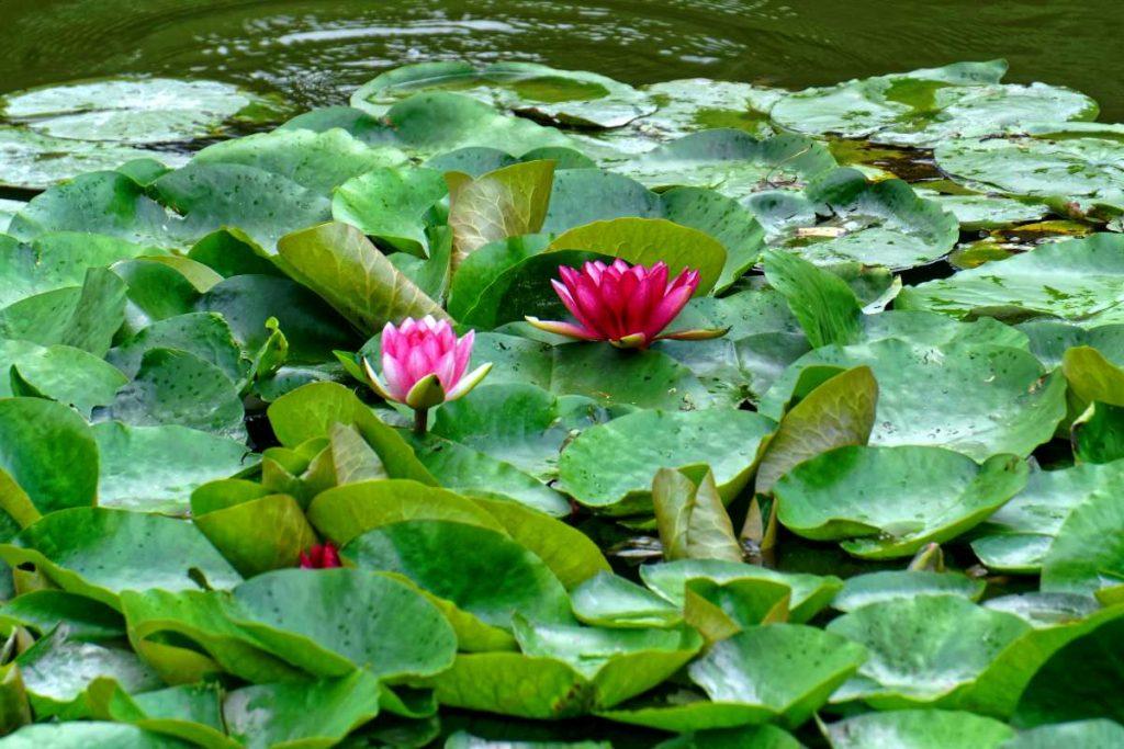 menufary lilia wodna